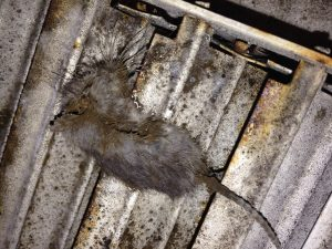 air_duct_cleaning_dead_rats